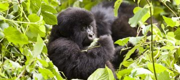 5 Days Uganda Double Gorilla Trekking from Kigali