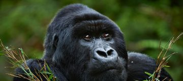 Gorilla Trekking Rules and Regulations in Rwanda