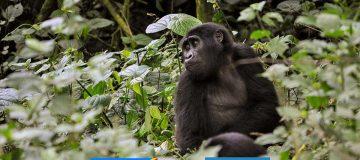 Gorilla Trekking in Rwanda Vs Congo