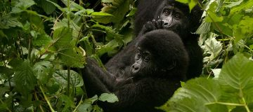 Safety of Gorilla Trekking in Rwanda