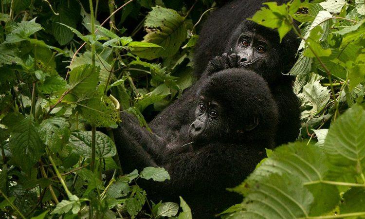 Safety of Gorilla Trekking in Rwanda