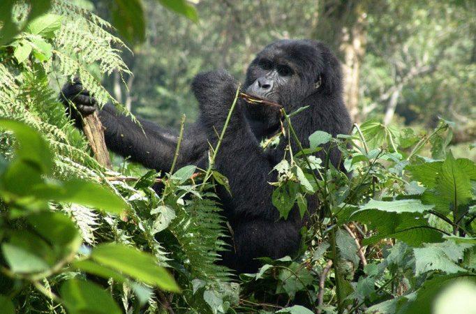 Gorilla Trekking in Rwanda vs Uganda