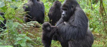10 Days Uganda and Rwanda safari