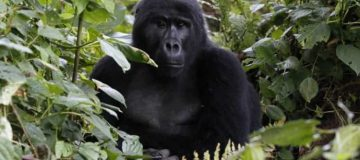 2 Days Bwindi Gorilla Safari from Kigali