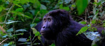 Best Gorilla Trekking Destination In Africa