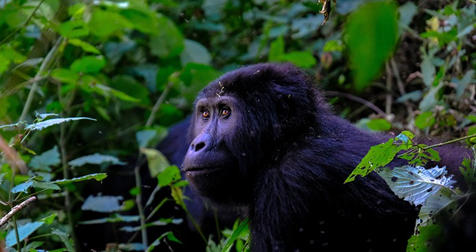 Best Gorilla Trekking Destination In Africa
