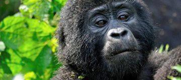 6 days Uganda and Rwanda safari