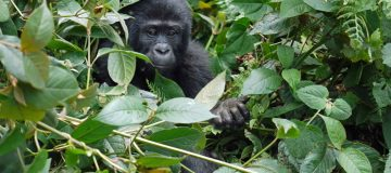 9 Days Best of Congo safari