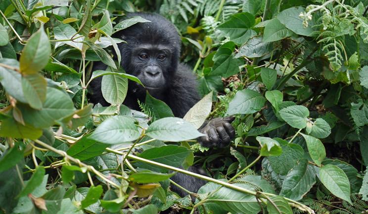 9 Days Best of Congo safari