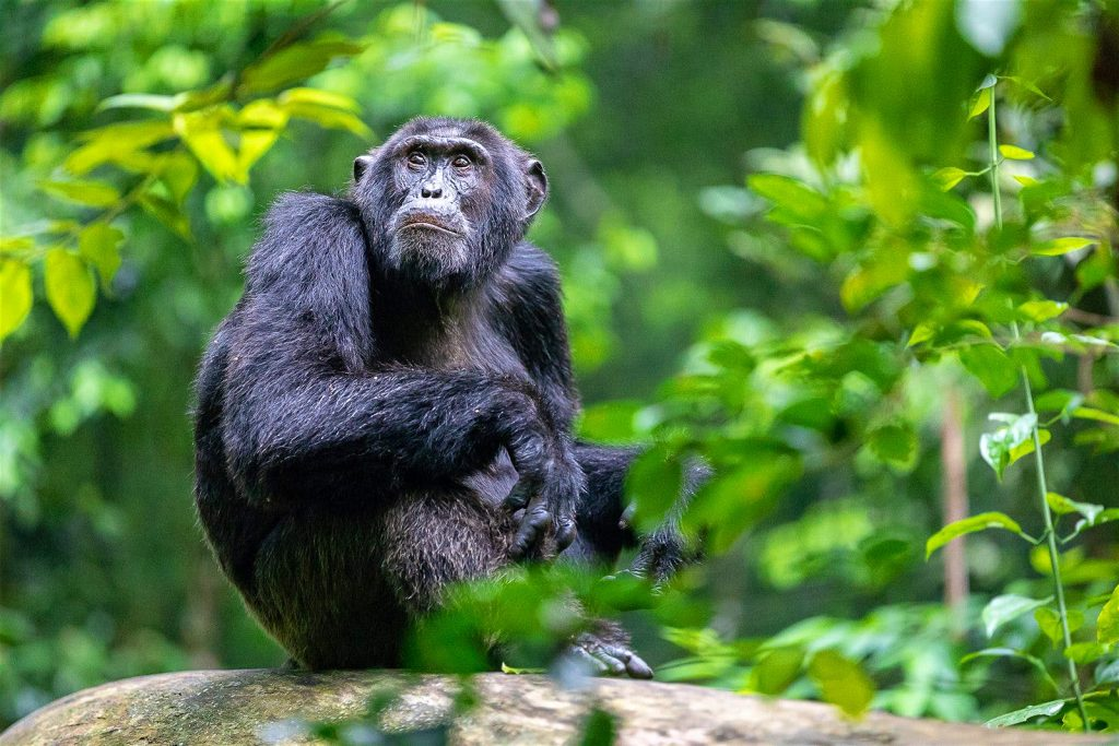 6 days Uganda primate safari