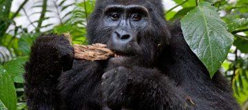 Gorilla trekking in Rwandaduring Corona Virus