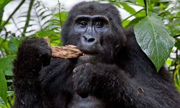 Gorilla trekking in Rwanda during Corona Virus