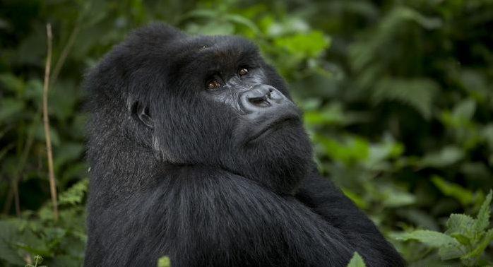 Gorilla trekking permits in Rwanda during Corona Virus