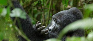 3 DAYS RWANDA GORILLA SAFARI FROM UGANDA