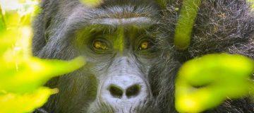 11 Days Virunga Expedition