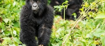 2 Days Jomba Community Camp and Gorilla trek
