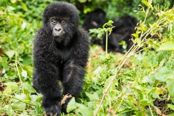 2 Days Jomba Community Camp and Gorilla trek