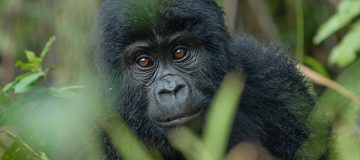8 Days of Virunga Gorilla Extravaganza