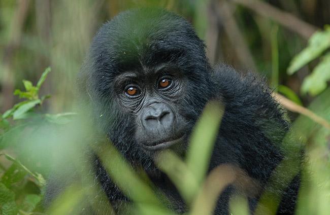 8 Days of Virunga Gorilla Extravaganza