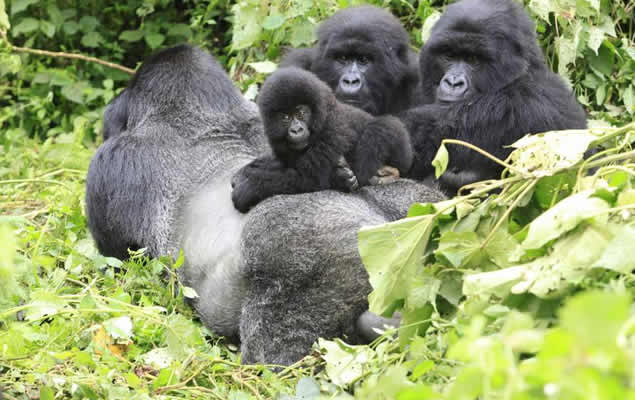 5 Days Virunga Great Ape Package