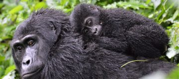 6 days Virunga Classic
