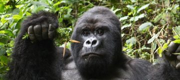 6 Days Virunga & Kahuzi Biega Safari