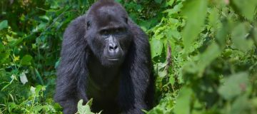 6 Days Virunga Primates & Mount Nyiragongo Safari