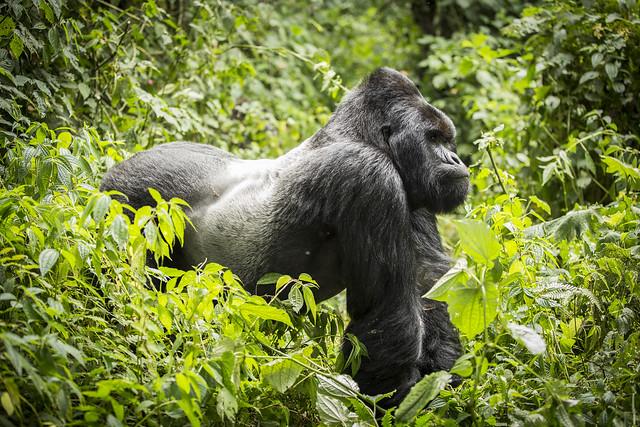 5 Days Mount Nyiragongo & Bwindi Gorilla Trekking Safari