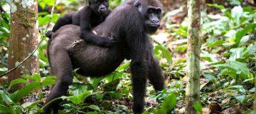 5 Days Nyiragongo Hike & Kahuzi Biega Lowland Gorilla trekking