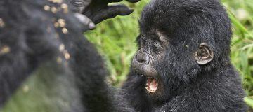 Primate Safaris in Uganda 2021