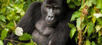 Primate Safaris in Virunga National Park