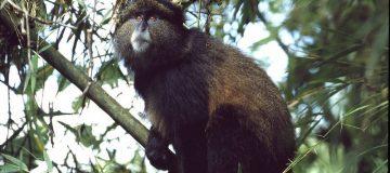 Primate Safaris in Rwanda 2021