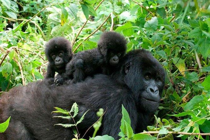 3 Days Uganda Gorilla Trekking during COVID-19