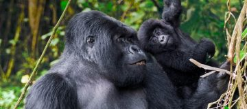 3 Days Volcanoes Gorilla Trekking Safari