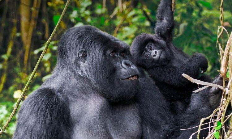 3 Days Volcanoes Gorilla Trekking Safari