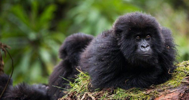 4 Days Rwanda Double Gorilla Trekking tour
