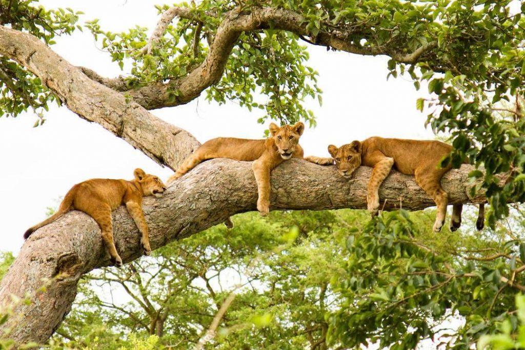9 Days Best of Uganda Safari Tour
