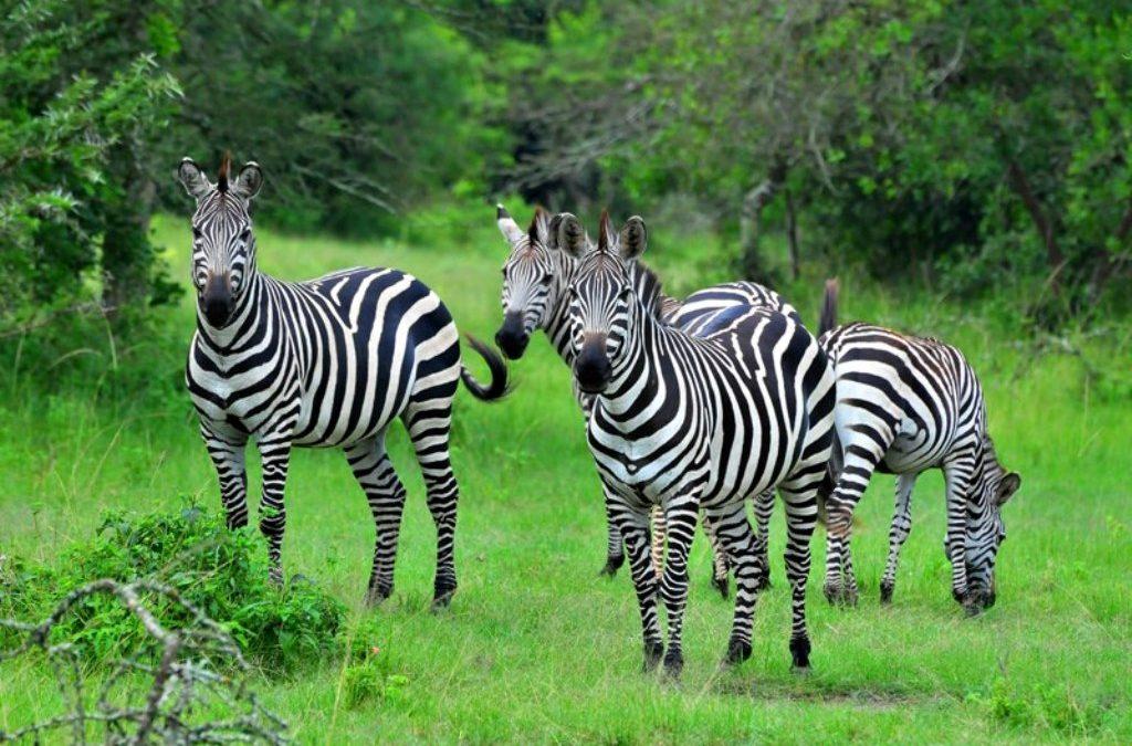12 days Uganda Safari- Gorilla Trekking, Wildlife and Culture