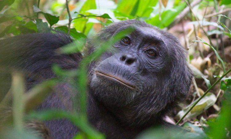 3 Days Uganda Chimpanzee safari during COVID-19