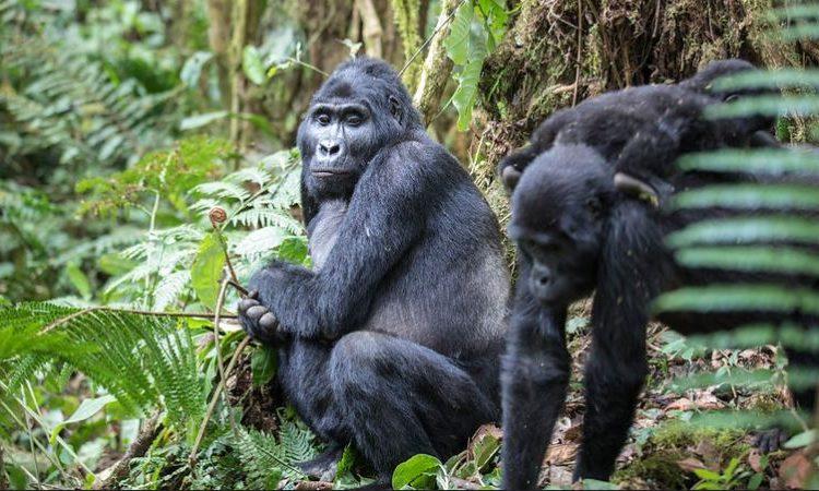 4 Days Uganda Gorilla Trekking during COVID-19