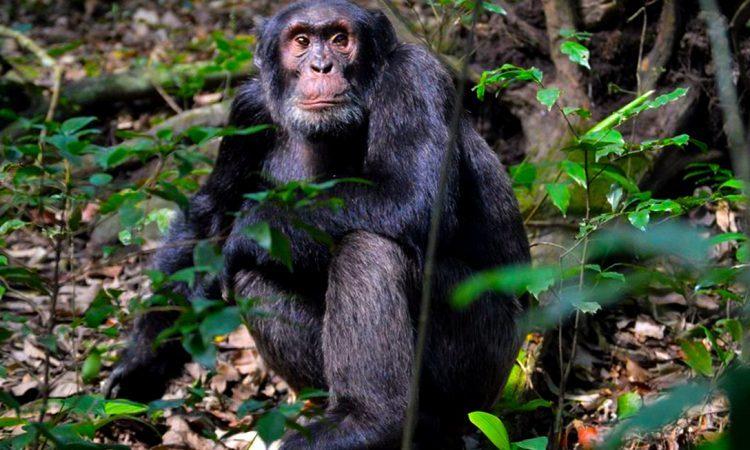 Chimpanzee Trekking in Uganda duringCOVID-19