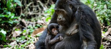 Best places to visit the gorillas in Africa