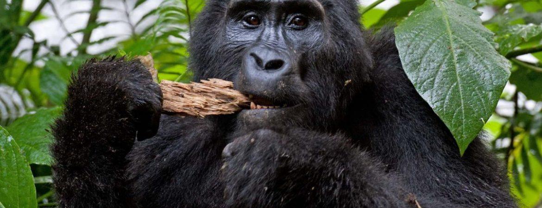 Chimpanzee Trekking in Rwanda during COVI-19
