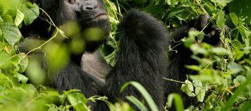 Gorilla Trekking Discounts in Uganda During COVID-19